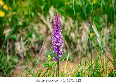 small wild orchid in the green fields of Asiago