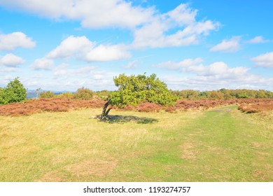 A small windswept Oak tree stands just off the wide grass path that crosses Stanton Moor in the Derbyshire Dales.