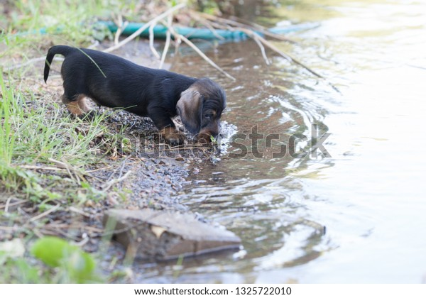 Small wire-haired miniature dachshund get to know the lake for the first time