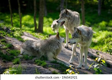 Une petite meute de loups avec trois loups s'est rassemblée sur des rochers dans une forêt canadienne au premier plan et un loup s'approche au loin.
