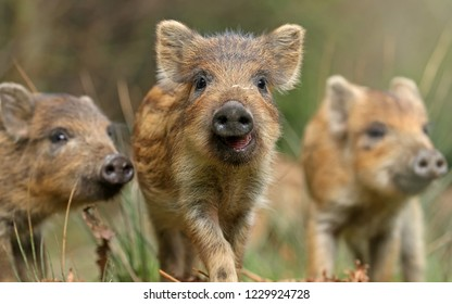 Small yellow boars