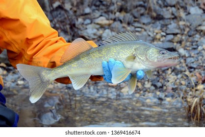 A small yellow bronze and gray walleye fish being held horizontally in gloved hand over water and a rocky shoreline on a cloudy day
