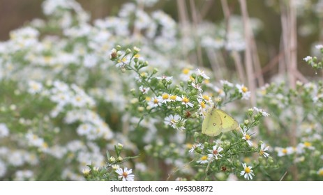 Small Yellow Cabbage Butterfly Drinking Nectar From White Fleabane Growing On A Farm In The Mountains Of South West Virginia