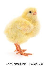 Small yellow chicken isolated on white background.