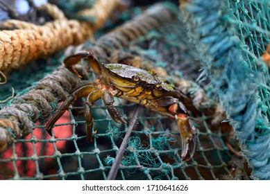 A small yellow crab in a fishing net, close-up. Sailing ropes in the background. Environmental conservation theme. Jura island, Inner Hebrides, Scotland, UK