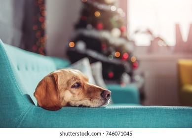 Small yellow dog laying on a blue sofa in front of christmas tree