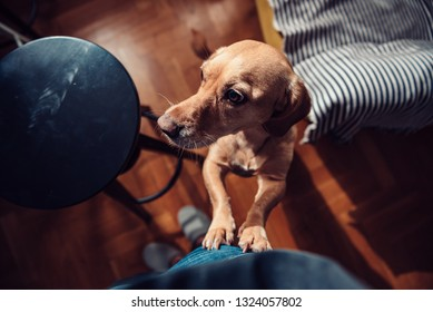 Small yellow dog standing on hind legs next to his owner