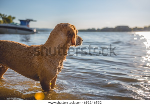 Small yellow dog standing on the beach by the water