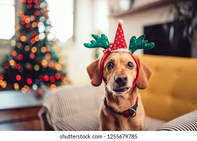 Small yellow dog wearing antlers sitting on the sofa by the Christmas tree