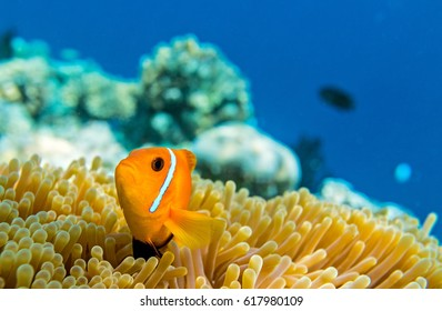 Small yellow fish in the Indian Ocean, Maldives