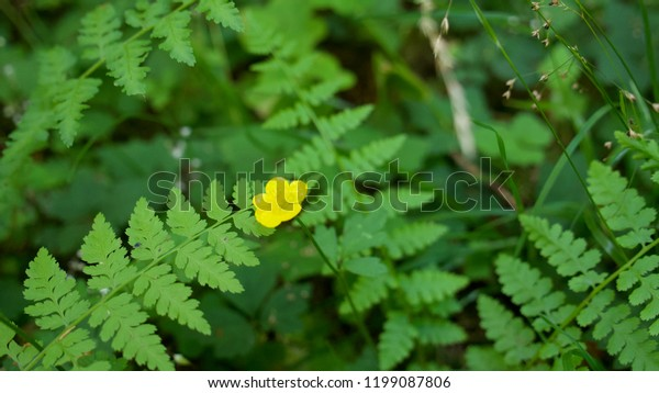 A small yellow flower in the center of green ferns growing in the Olympic National Park, Washington state.