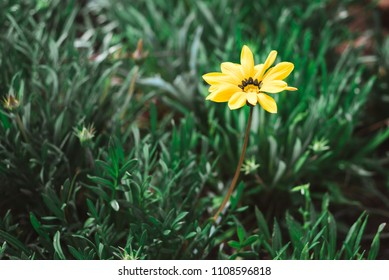 Small Yellow Flower in Green Grass, Fez, Morocco