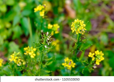 The small yellow flowers of bog choy vegetable in plantation garden