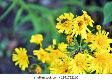 Small yellow flowers with fly