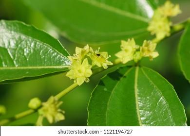 Small yellow flowers jujube (jujube real, Chinese date, capiinit, jojoba, lat. In the process jujuba). It's spring