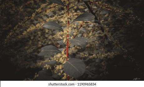 Small yellow flowers jujube (jujube real Chinese date, capiinit, jojoba, lat. In the process jujuba). It's spring