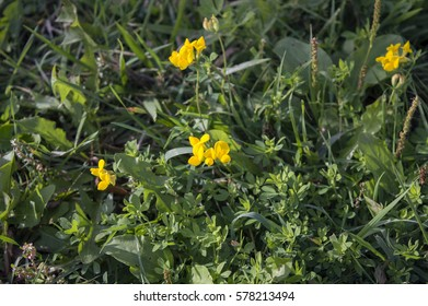 Meadow pea vine images stock photos vectors shutterstock small yellow flowers of lathyrus pratensis blooming in summer meadow grass wild meadow pea vine mightylinksfo