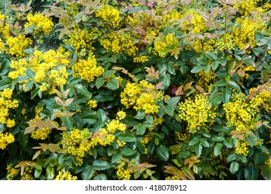 Small yellow flowers images stock photos vectors shutterstock small yellow flowers mahonia in spring morning mightylinksfo