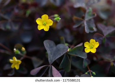small yellow flowers oxalis with blossom with purple leafs, macro photography