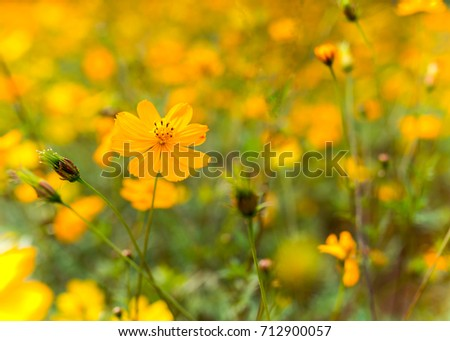 Small Yellow Flowers Perennials On Field Stock Photo Edit Now