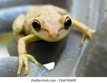 Small yellow frog looking directly into camera with big black eyes