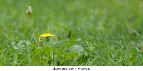 A small yellow gumweed with yellow daisy like flower heads in the a small yellow gumweed with yellow daisy like flower heads in the grass mightylinksfo