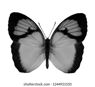 Small Yellow Orange Tip (Ixias pyrene) lovely little butterfly fully wings stretched isolated on white background in colorless version, exotic animal