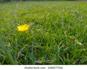 A small yellow ranunculus or buttercup flowering in a rough green lawn
