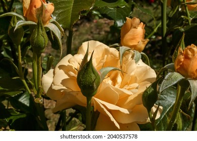Small yellow rose with buds. Selective focus. High quality photo