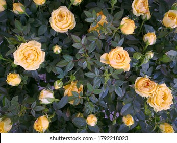 A lot of small yellow roses on rose bush. Pale yellow delicate roses with orange shades blooming in garden. Beautiful bouquet of summer flowers of warm colors. Close-up view. Romantic soft background