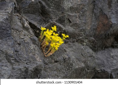 Small Yellow Sedum Acre Flowers on the Rock