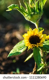 Small yellow sunflower growing in the flowerbed.