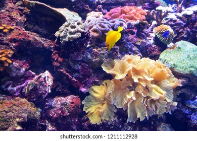 small yellow tropical fish and colored corals under water