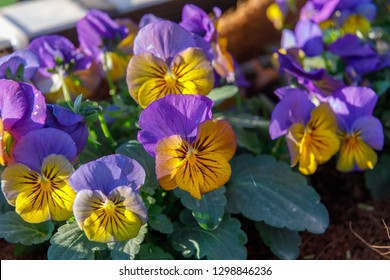 Small yellow and violet pansies flowers on a bed