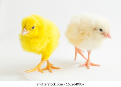 Small yellow  and white chicken isolated on white background.