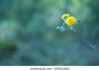 Small yellow wild flower with blur green background