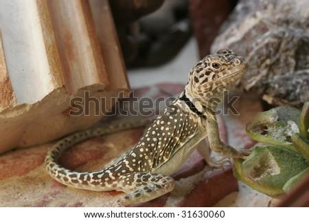 Small Yellowbrown Lizard Terrarium Stock Photo Edit Now 31630060