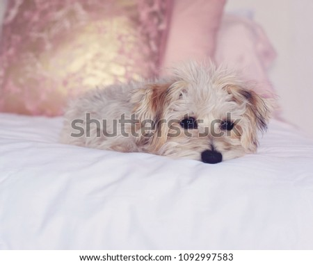 Small Yorkie Bichon Mixed Cute Adorable Stock Photo Edit Now
