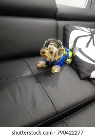 A small Yorkshire terrier in a blue overall on a black leather sofa