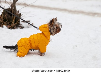 Small Yorkshire terrier dog in a yellow jacket for a winter walk