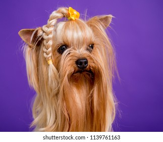 Small yorkshire terrier on blue background. Close-up