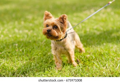 Small Yorkshire terrier in the park on the green grass