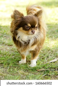 A small, young, beautiful, chocolate and cream, brown, long coated Chihuahua standing on the lawn. Chihuahua dogs are the smallest in size.