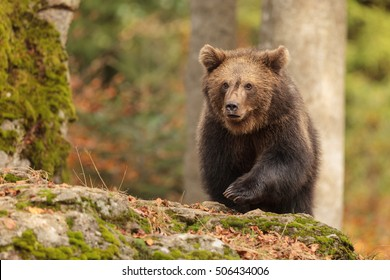 small young brown bear is running on the rock