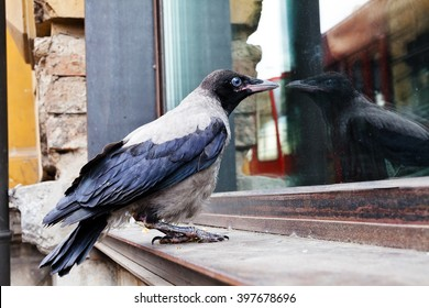 Small young crow sitting on the window looking through the window