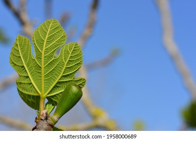 A small young fig leaf on the fig tree with the branches in the background and against a blue sky - Shutterstock ID 1958000689