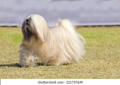 A small young light tan, fawn, beige, gray and white Lhasa Apso dog with a long silky coat running on the grass. The long haired, bearded Lasa dog has heavy straight long coat and is a companion dog.