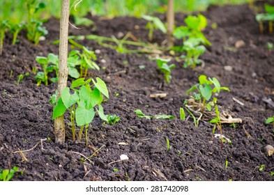 Small young new pea plant growing in fertile rural soil with a pole next to it suggesting home grown healthy organic vegetables