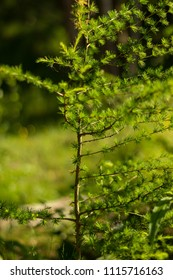 Small, young pine with branches growing towards the eastern, sunny side of the slope