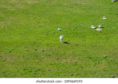 small young sheep family on grassy field. country side view in portrush northern ireland